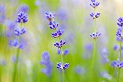 field-violet